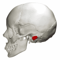 Mastoid Process: Location, Function and Pain