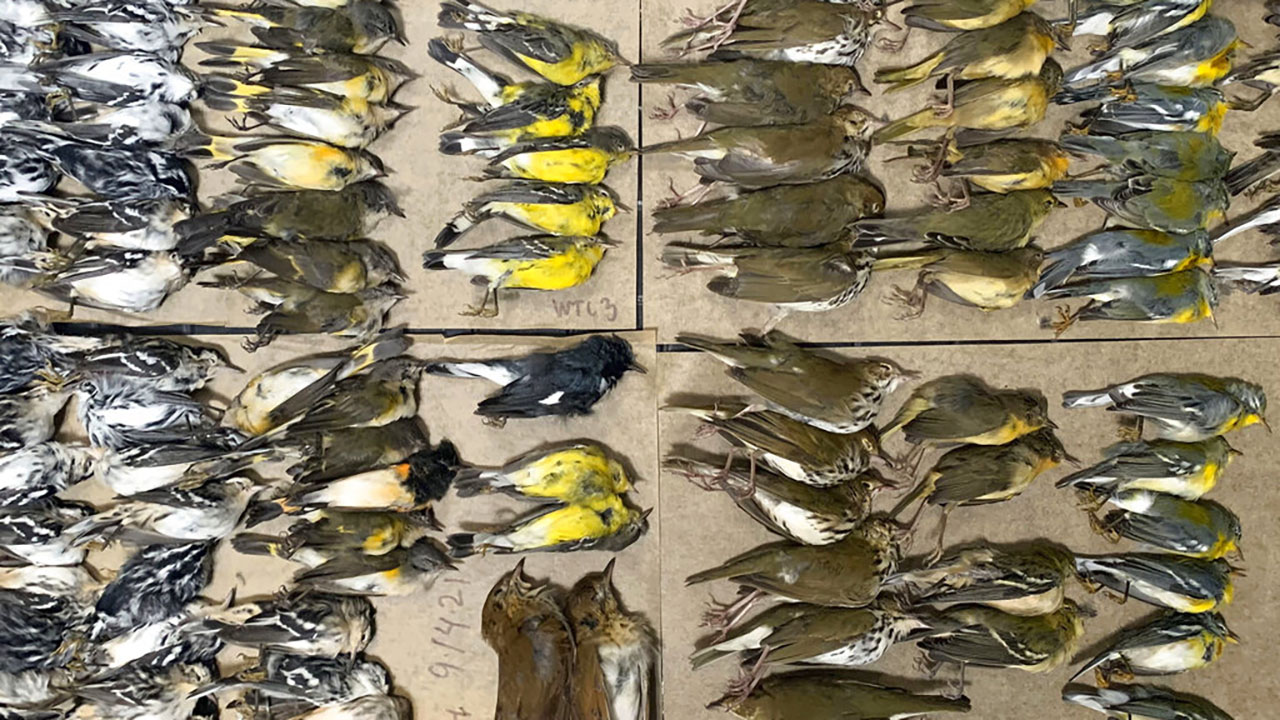 'Birds were everywhere': Hundreds of migrating songbirds crash into NYC skyscrapers