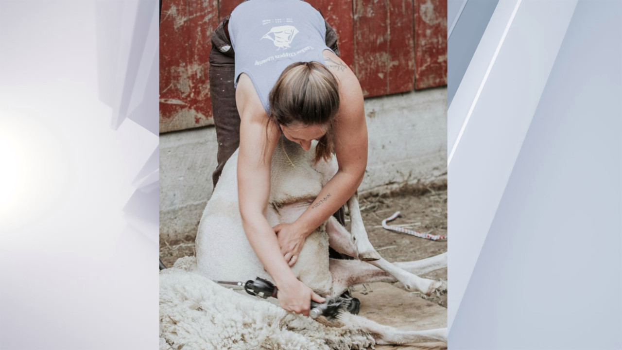 Saratoga County to host sheep shearing event