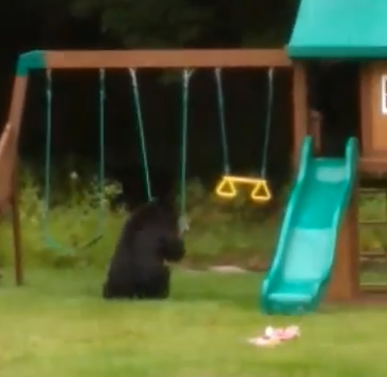 1631749652 123 VIDEO Three bears caught playing in backyard pool in Westfield