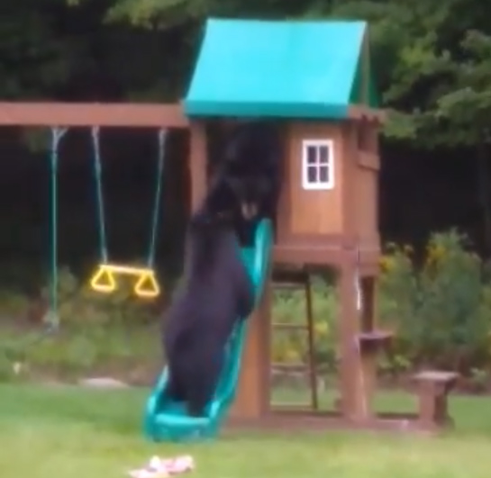 1631749653 862 VIDEO Three bears caught playing in backyard pool in Westfield