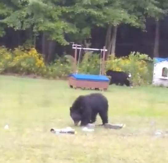 1631749654 724 VIDEO Three bears caught playing in backyard pool in Westfield