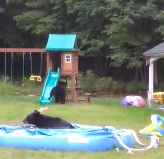 1631749655 330 VIDEO Three bears caught playing in backyard pool in Westfield