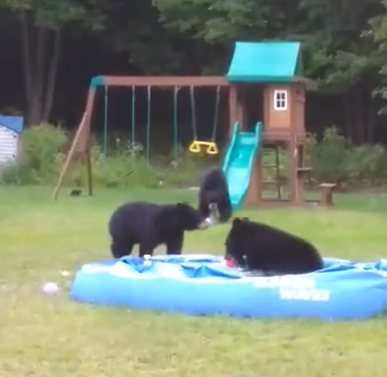 1631749656 481 VIDEO Three bears caught playing in backyard pool in Westfield