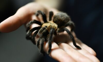 Southern Colorado's tarantulas are disappearing — and climate change is a big part of it