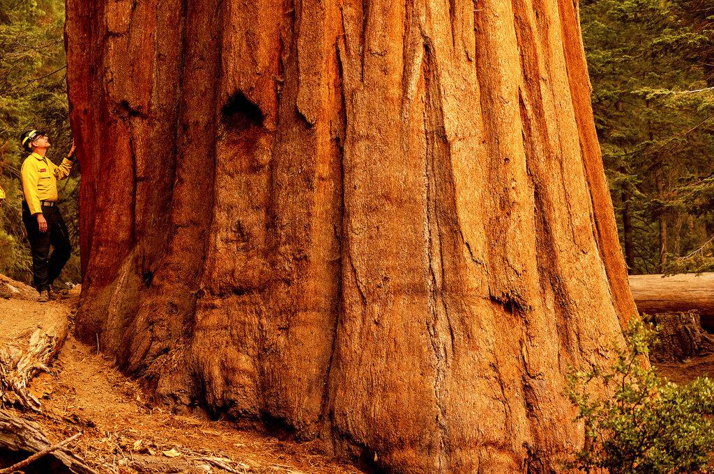 Photos: 4 famous giant trees unharmed by Sequoia National Park fire, fate of others unknown