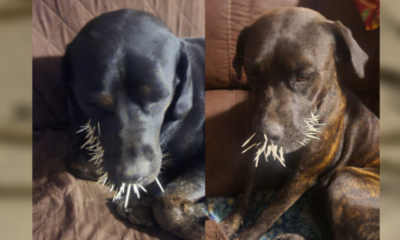 Dogs left with mouthful of quills after rare encounter with Missouri porcupine