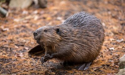 Beavers in a brook: Conn. homeowner says beaver dam caused his yard to flood, house to sink