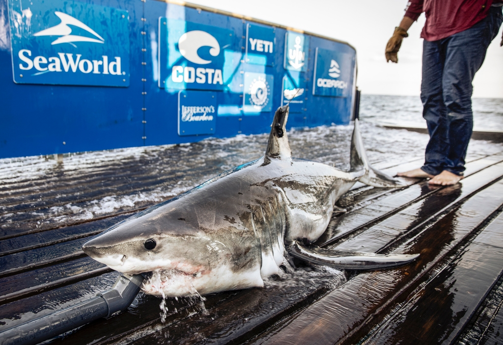 After great white shark researchers tag 3 sharks off Massachusetts, they tag 10 off Nova Scotia