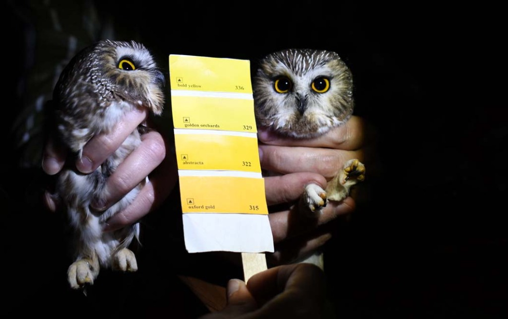 Saw-whet owl migration gives researchers in Washington County a chance to study them
